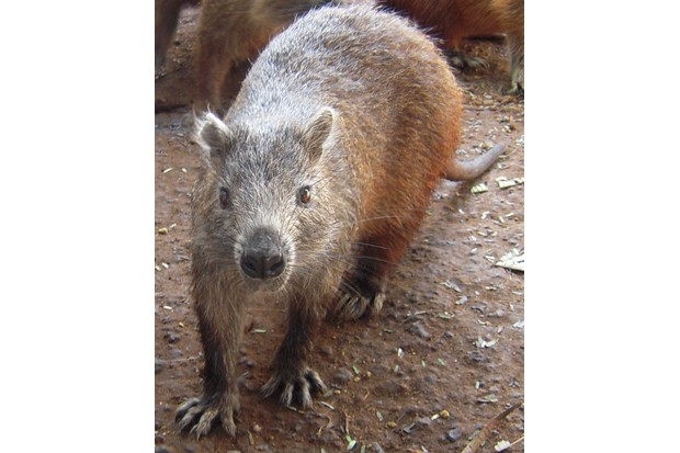 Cuban hutia Capromys pilorides, closest living relative to the newly described mammals. © Nancy Albury