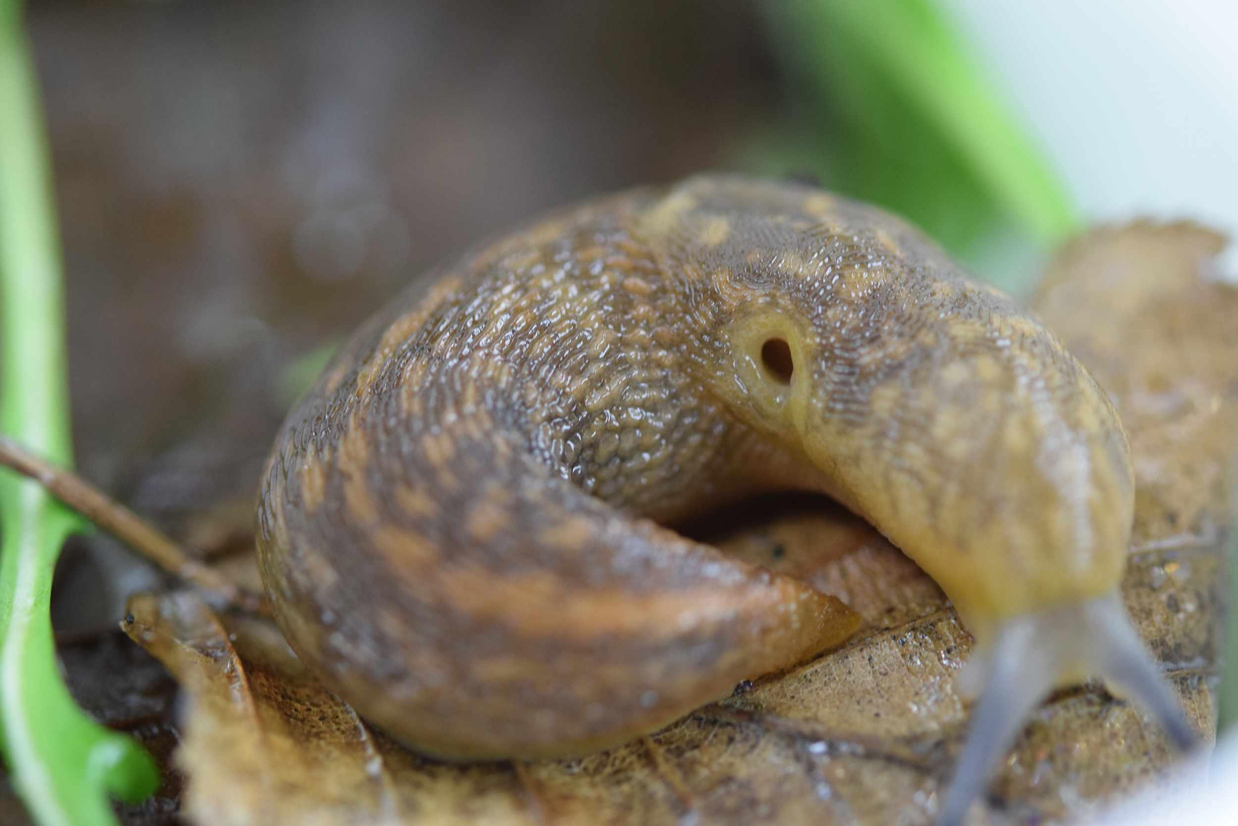 Yellow cellar slug. © Emma Griffith/RHS