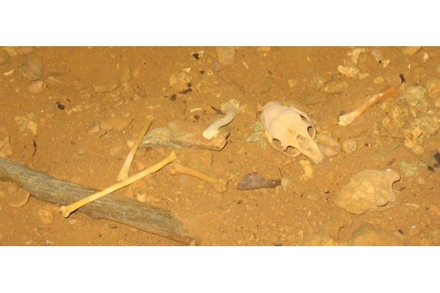 Fossils of capromys skull and limbs and bird bones found in Little Cayman. © NMMNH