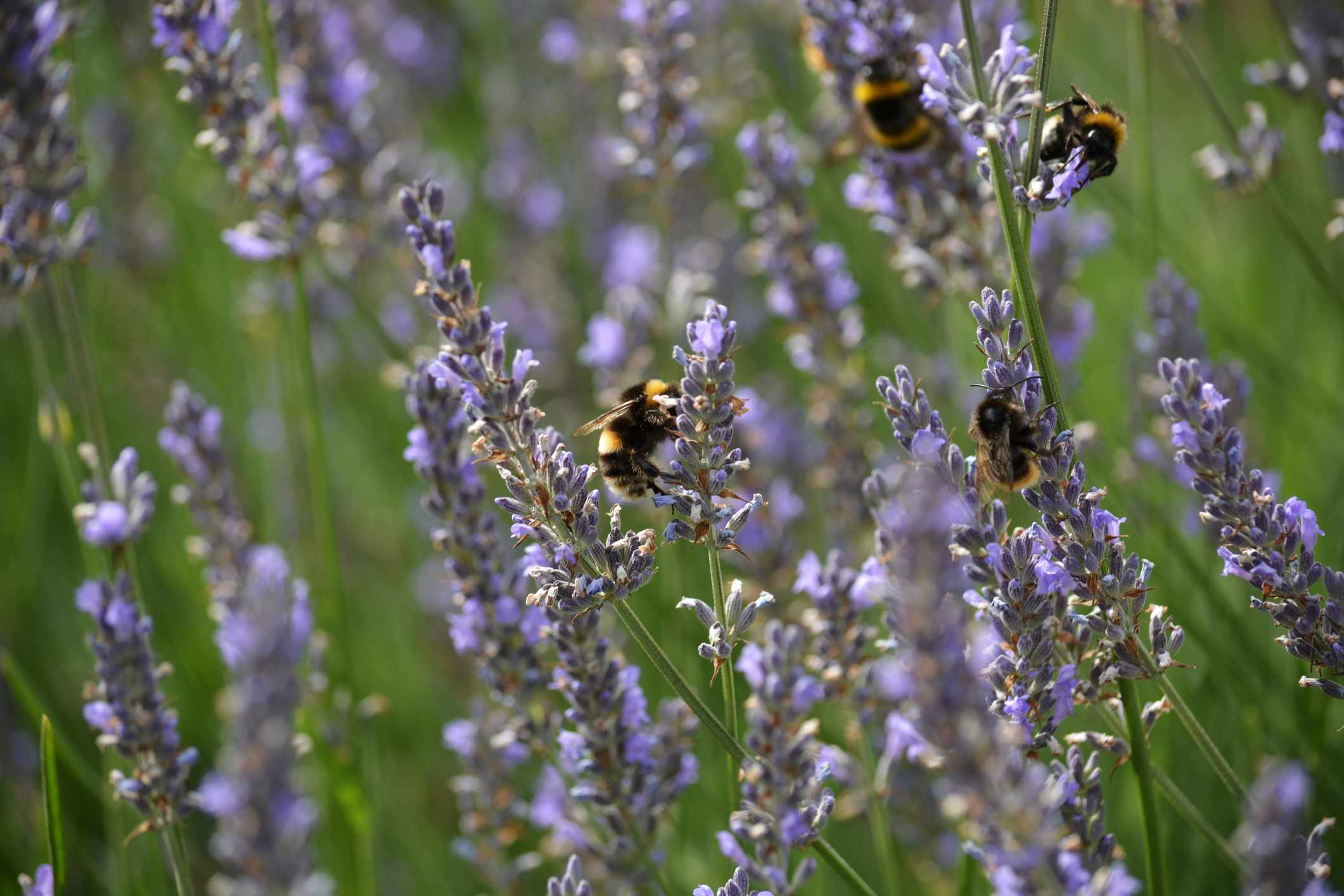 Bumblebees feeding on blooming lavenders