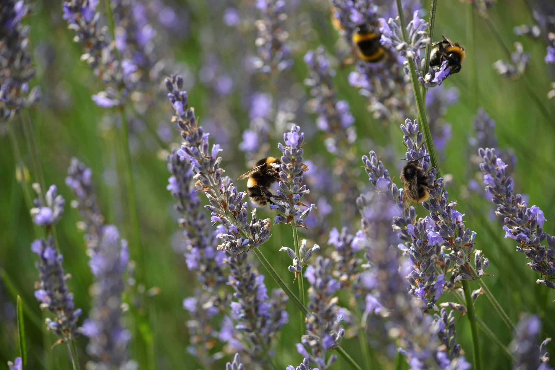 Bumblebees feeding on blooming lavenders