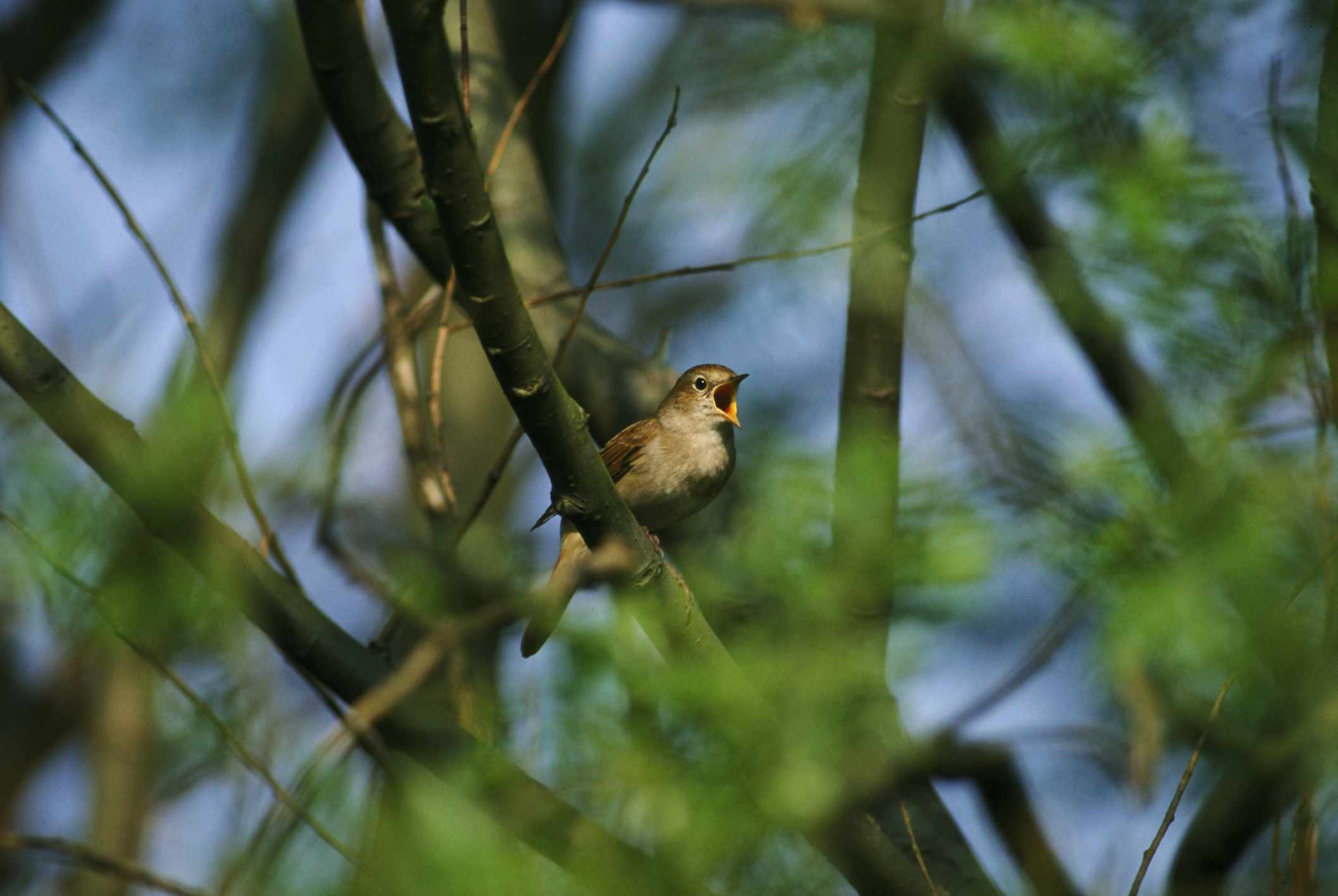 Nightingale singing. © David Tipling/Getty