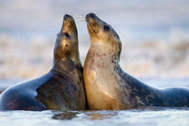 Grey seal pair playing on a beach, Donna Nook in Lincolnshire. © Guy Edwardes/Getty