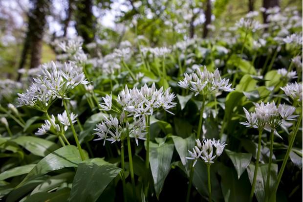 Wild garlic in bloom in a forest in Gloucestershire, UK. © Stephen Shepherd/Getty