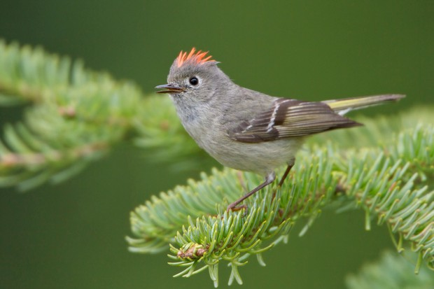 Ruby-crowned kinglet. © Glen Bartley/Getty