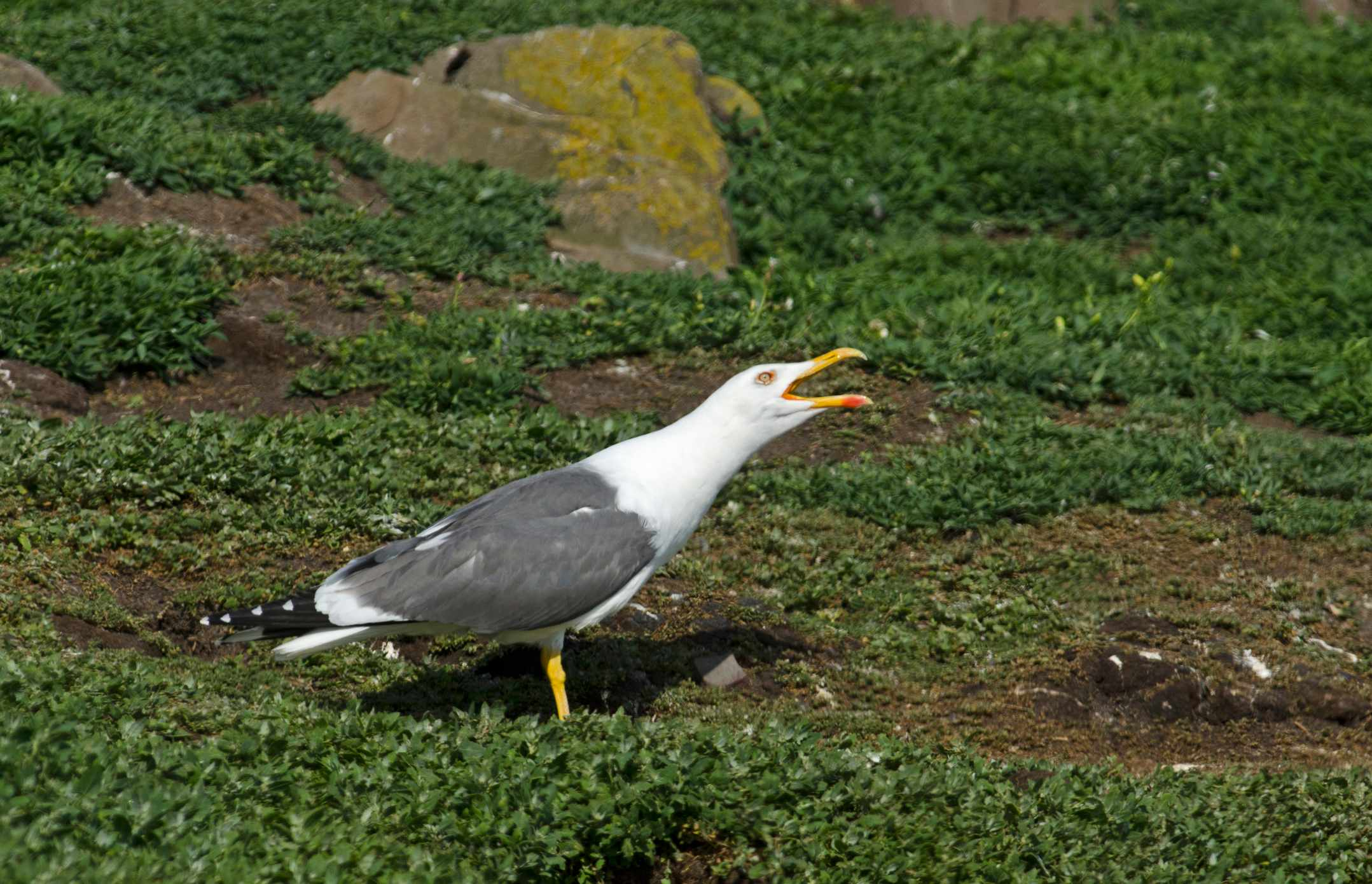 Lesser black-backed gull calling on the Farne Islands. © David Tipling/Getty