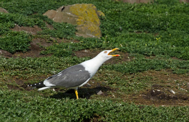 Lesser black-backed gull calling on the Farne Islands. © David Tipling/Getty