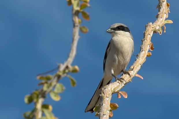 Loggerhead shrike. © Westhoff/Getty