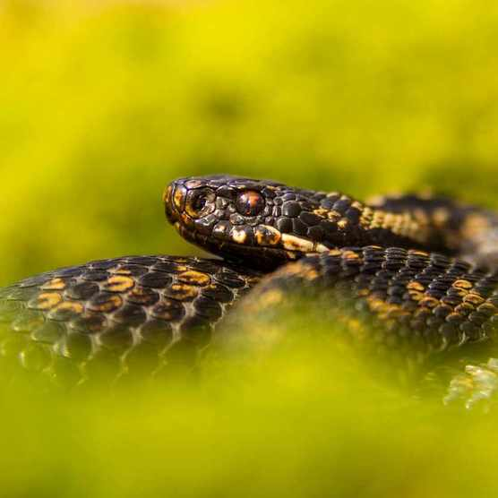 Adder coiled up in moss