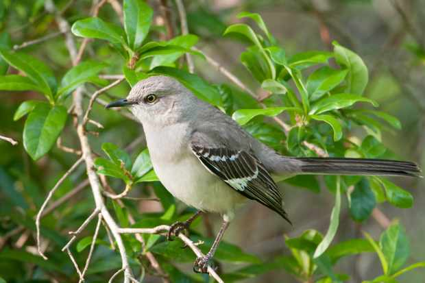 Northern Mockingbird. © BirdImages/Getty