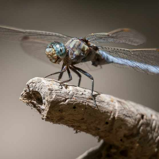 Keeled skimmer dragonfly © Stavros Markopoulos