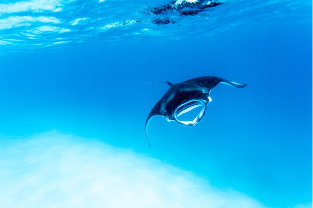 Reef manta ray in the Maldives. © Song Helming/Getty.