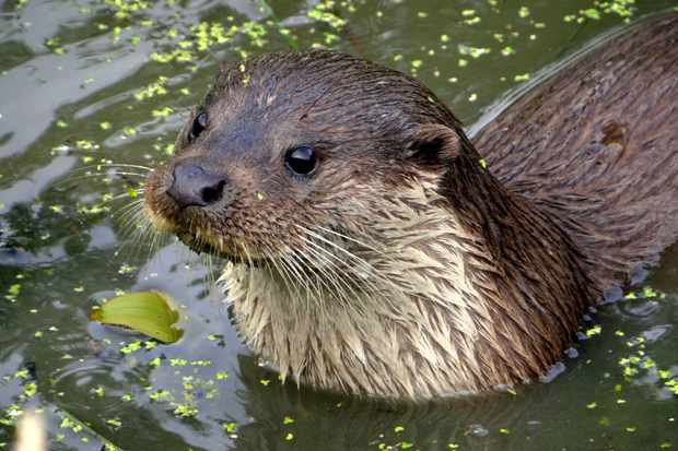 The Fitchetts were lucky enough to capture footage of an otter using a night camera. © Peter Burnage
