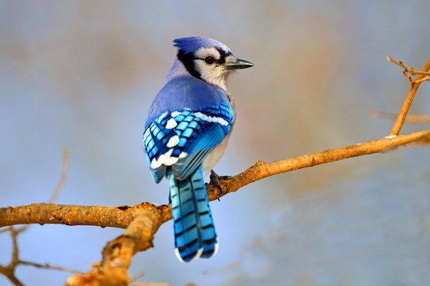 Blue jay. © Brian E Kushner/Getty