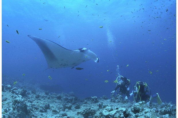 Divers with a giant manta ray in the Maldives. © Martin Hablützel/ullstein bild/Getty.