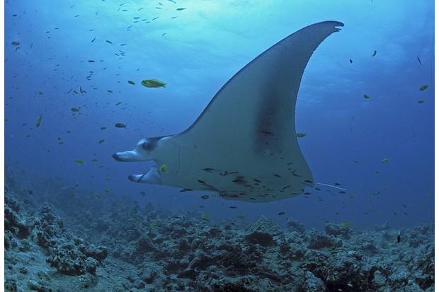 Giant manta ray gliding across a reef in the Maldives. © Martin Hablützel/ullstein bild/ Getty.