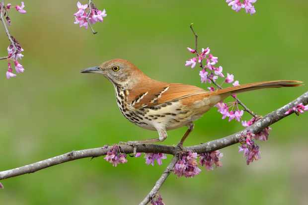Brown thrasher. © Tim Zurowski/Getty