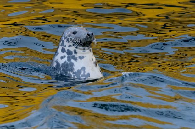 Grey seal scavenging fish around trawlers in Lerwick harbour, Shetland Isles, Scotland. © Chris Gomersall/Getty