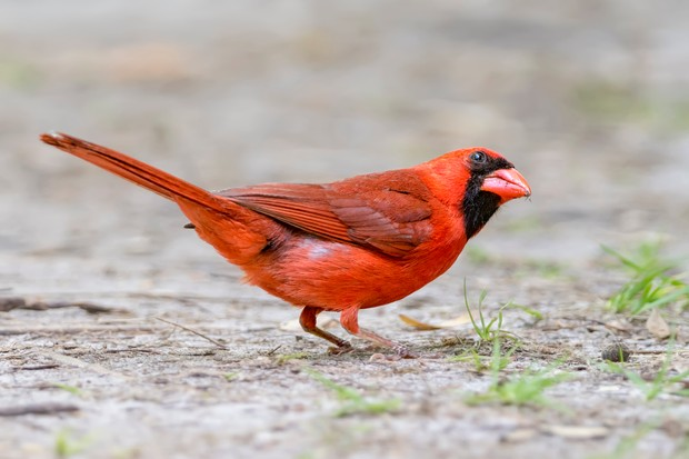 Male northern cardinal. © Todd Ryburn Photography/Getty
