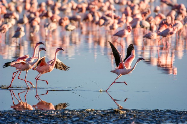A flock of lesser flamingos (Phoenicopterus minor). Epsiode one features a flock surviving on the salt pans of Africa. © GomezDavid/Getty
