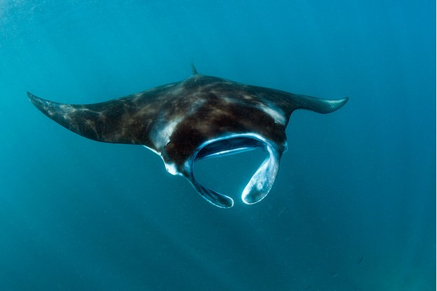 Reef manta ray in Komodo national park. © Prisma Bildagentur/UIG/Getty.