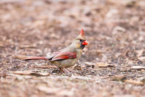 Female northern cardinal. © Todd Ryburn Photography/Getty