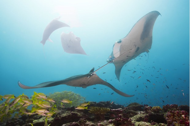 A squadron of giant manta rays in the Maldives. © Andrey Nekrasov/Barcroft Images/Getty.