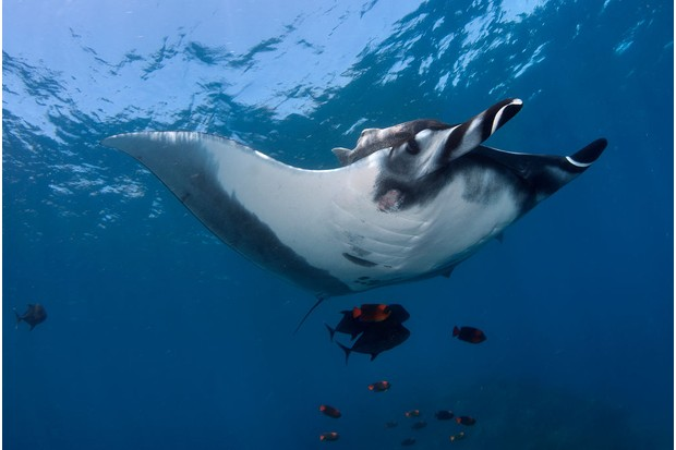 Giant Manta ray at a cleaning station in the Pacific. © Luis Javier Sandoval/VW Pics/UIG/Getty.