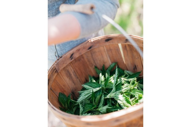 Basket of foraged nettles. © Michael Piazza/Getty