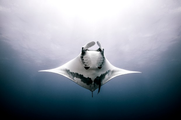 Giant Manta Ray from beneath, Mexico. © Ken Kiefer/Getty.