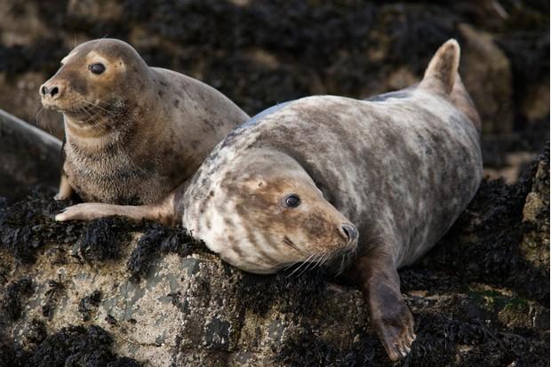 Grey seals on the Farne Islands in, Northumberland. © Steve & Ann Toon/Robert Harding/Getty