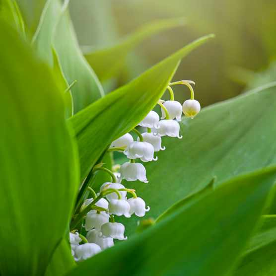 Lily of the valley is a sweetly scented, highly poisonous woodland flowering plant. © Jacky Parker Photography/Getty
