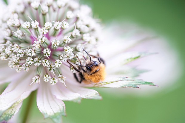 A bee collecting pollen from an Astrantia flower. © Jacky Parker/Getty