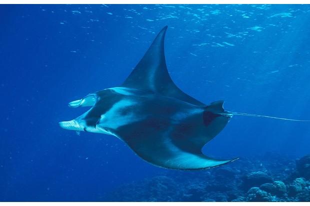 Reef manta ray showing off its dorsal patterning. © Ariel Fuchs/Gamma-Rapho/Getty.