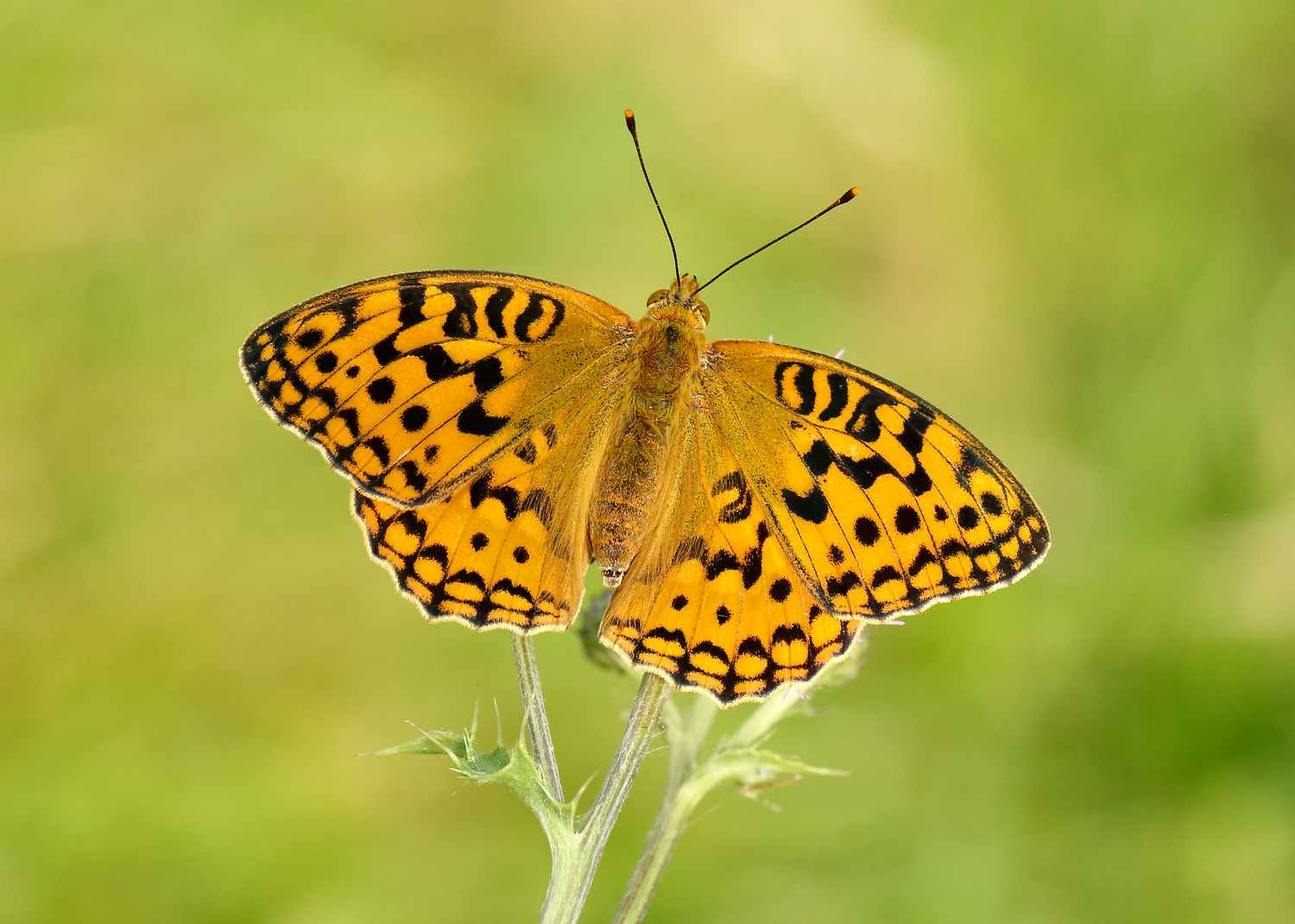 High brown fritillary butterfly. © Iain Leach/Butterfly Conservation
