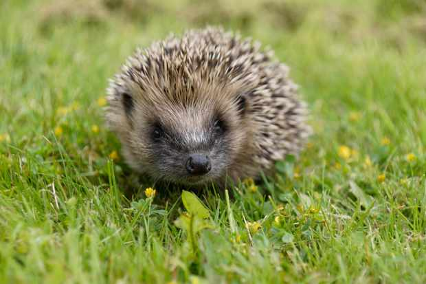 Hedgehog. © Dave Cooper/Hedgehog Street