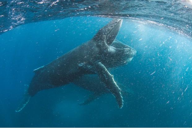 Humpback whale feeding off Cape Town, South Africa. © BBC NHU