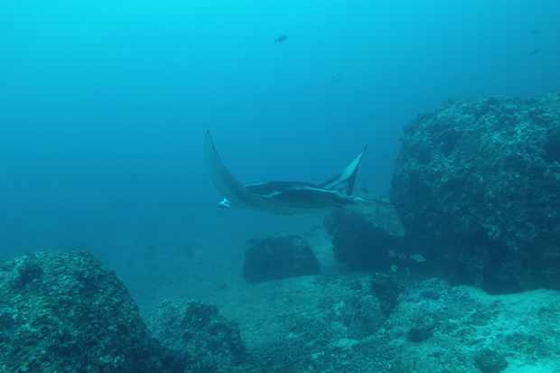 A screenshot from the video of the pregnant reef manta in Cocos Island. (c) Mauricio Hoyos.
