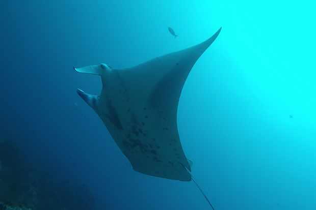 Pregnant reef manta in Cocos Island. (c) Mauricio Hoyos