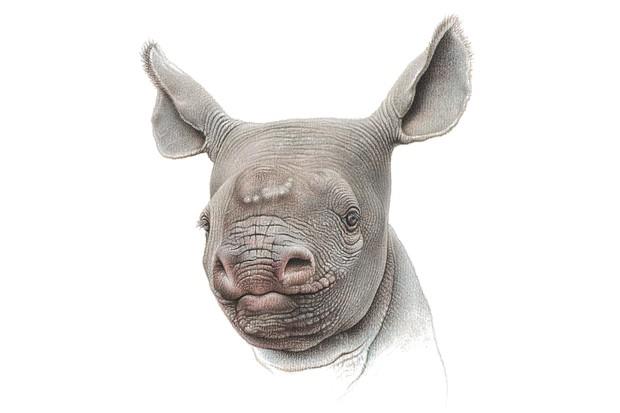 'Ingrid'. Pastel pencil drawing of a rhino calf. © mART