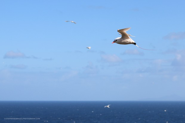 Several red-tailed tropicbirds supervising their nests while flying over the cliff; Round island, Mauritius.