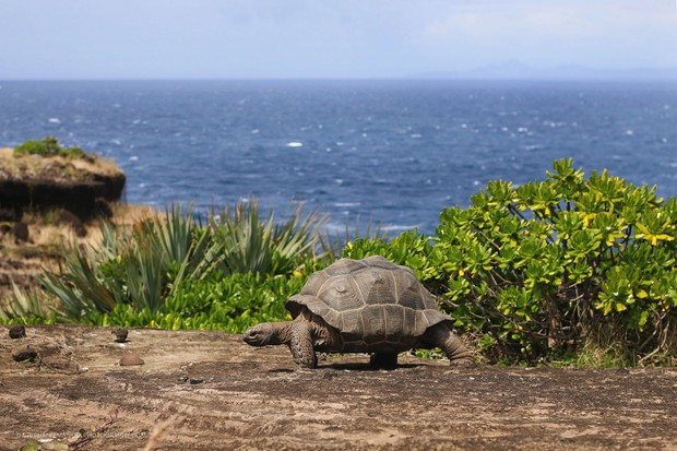 The peaceful walk of the Aldabra giant tortoise (Dipsochelys dussumieri); Round island, Mauritius.