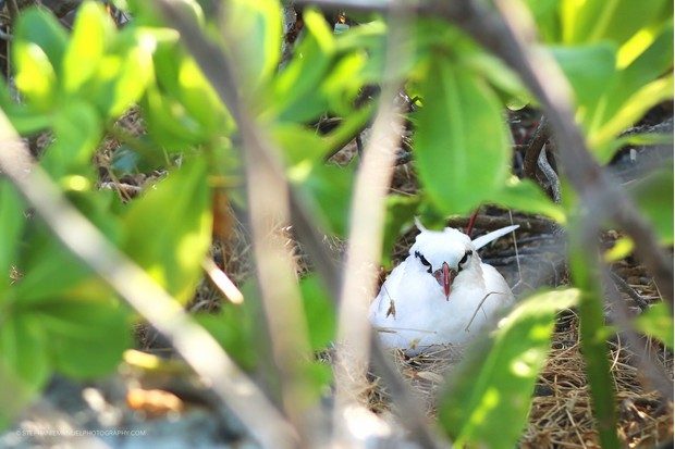 A red-tailed tropicbird Phaeton lepturus nesting in a vegetation-sheltered nook; Round island, Mauritius.