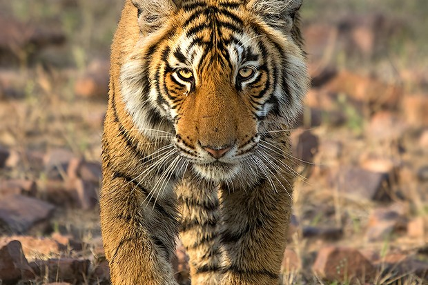 The look. Bengal tiger Panthera tigris.