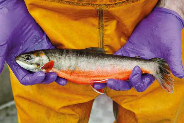 Arctic charr are impacted by increasing temperatures. © Ian Winfield.