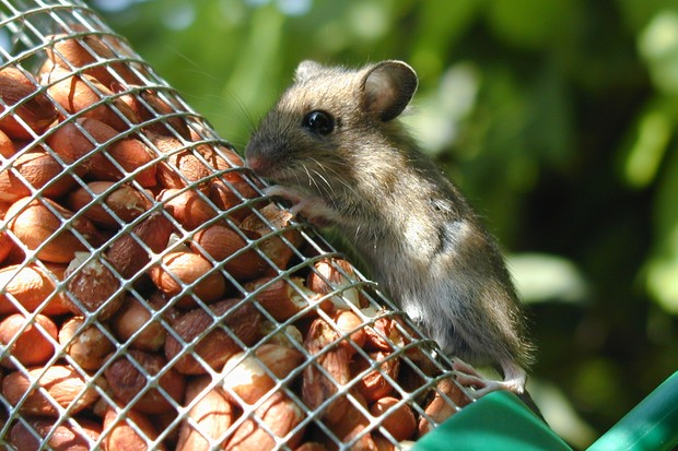 Wood mouse. © Gaynor Lewis