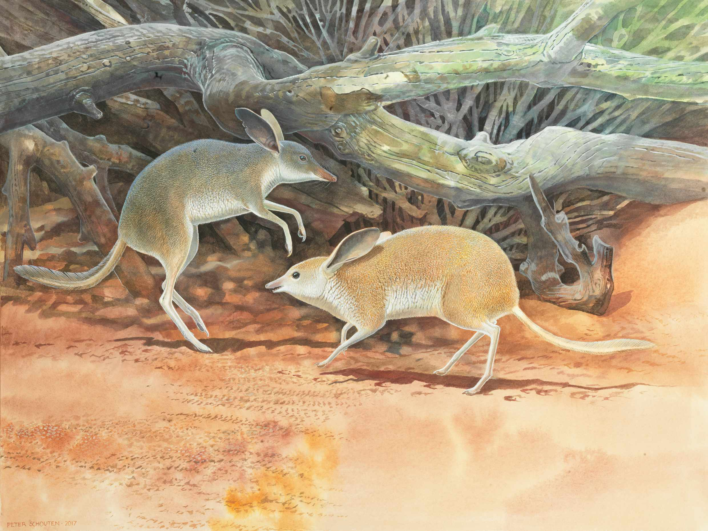 Chaeropus yirratji, a newly discovered species of pig-footed bandicoot. © Peter Schouten/WA Museum