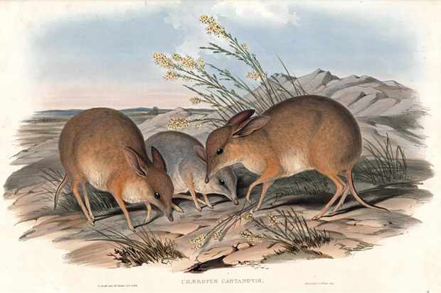 Chaeropus ecaudatus, the original species of pig-footed bandicoot. © John Gould