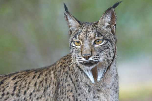 The Iberian lynx is the smallest species of lynx (65–100cm head to body, and 5–15kg). All four species have tufted ears and a spotted coat, but the Iberian lynx has the most prominent whiskers. © Laurent Geslin.