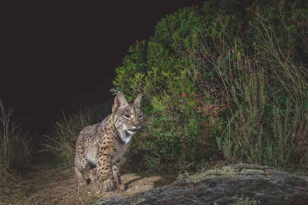 Laurent spent three months in Andalusia photographing this incredibly rare and evasive species, setting up camera-traps in areas with a healthy supply of rabbits for the lynx to hunt. © Laurent Geslin.